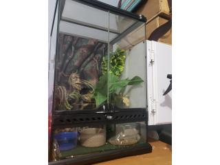 Crested gecko con todo  Puerto Rico