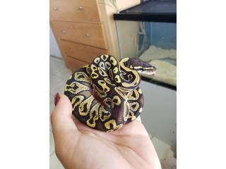 Ball pythons mojave granito  Puerto Rico