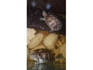 2 Tortugas con todo  Puerto Rico