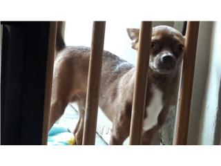 Chihuahua macho chocolate busca novia Puerto Rico