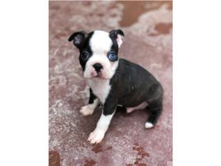 Hermoso Boston Terrier Ojo Azul  Puerto Rico