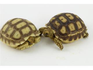 Se venden Tortugas Sulcatas (Bebés)   Puerto Rico