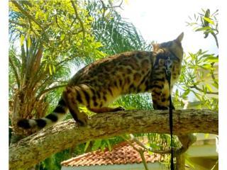 Bengals Cats Exotic Puerto Rico