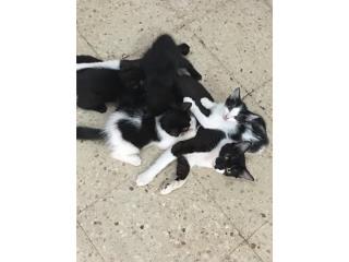 4 gatitos para adopción  Puerto Rico