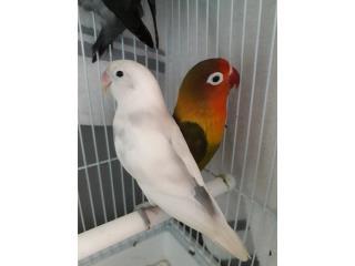 Pareja lovebird Puerto Rico