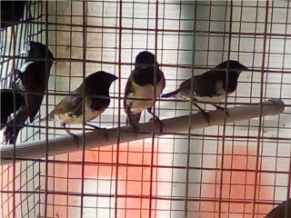 Finches gorriones y orange Puerto Rico