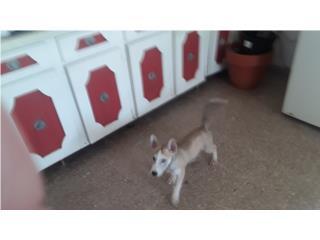 Venta de perritos de 2 meses Puerto Rico