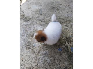 Pomeranian Puerto Rico