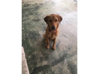 Puppy / GRATIS / Adopcion Puerto Rico