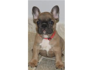 French Bulldog AKC Hembra  Puerto Rico