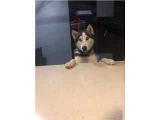 Bello Siberian Husky en adopción Puerto Rico
