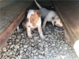 Se regalan perritos a gente con buen corazon. Puerto Rico