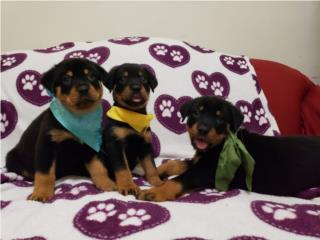 Rottweilers AKC Puerto Rico