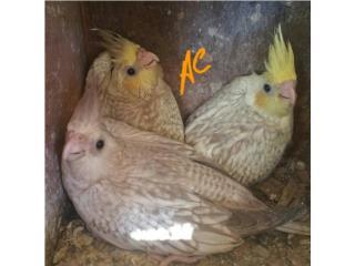 Hermosos Cockatieles  Puerto Rico