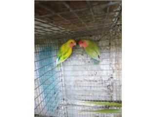Parejas de Love bird 2 anillado y 2 comunes  Puerto Rico