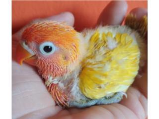 LOVEBIRD FISCHER HANDFEED Puerto Rico