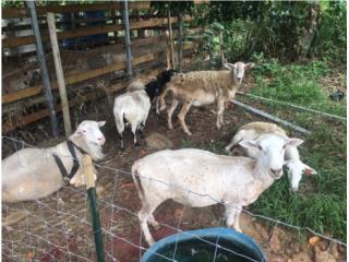 Lotes de ovejas  Puerto Rico