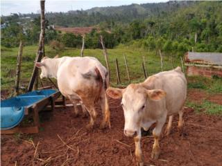 Vaca charbrai con Becerra Puerto Rico