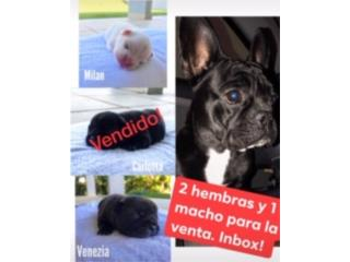 Clasificados Online Mascotas French Bulldog AKC