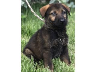 Puerto Rico German Shepherd black sable AKC Working line, Perros Gatos y Caballos