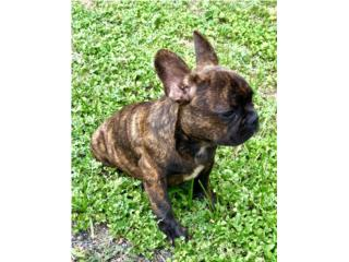 Puerto Rico French Bulldog AKC, Perros Gatos y Caballos