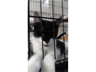 Cariñoso gatito para adoptar  Puerto Rico
