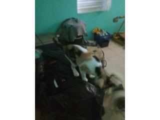 Tres gatas de 7 meses Puerto Rico