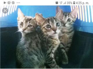 Gatitos  en adopcion lindos Puerto Rico