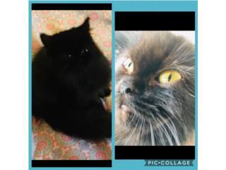Hermoso gatito persa negro Doll Face  Puerto Rico