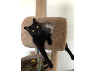 Gato negro para adopción  Puerto Rico