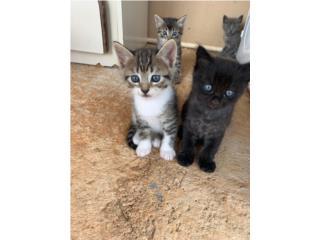 Adopción de gatitos 2 meses Puerto Rico