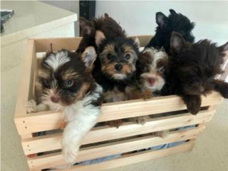Puerto Rico Hermosos Yorkie Biewer, Biro y Tradicional, Perros Gatos y Caballos