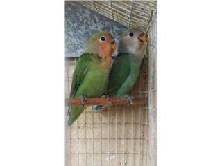 lovebird regulares Puerto Rico