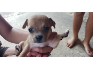 Puppy chihuahua Puerto Rico