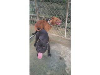 Bully/pitbull puppys por solo $100. Puerto Rico
