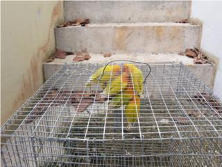 30 LOVEBIRDS ANILLADOS DE CALIDAD Puerto Rico