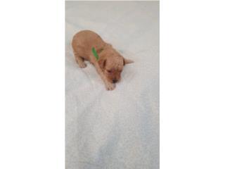 Toy poodle apricot  Puerto Rico