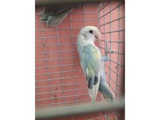 Lovebird opalino Puerto Rico