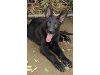 German Shepherd Negro AKC Puerto Rico