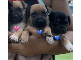Puppies ( Arecibo ) Puerto Rico
