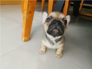 Hermoso French bulldog  Puerto Rico