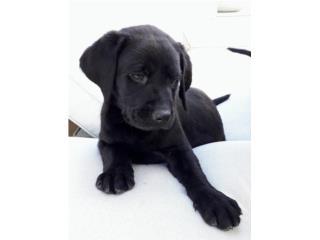 Labrador negro macho Puerto Rico