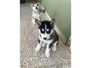 Siberian Husky puro Puerto Rico