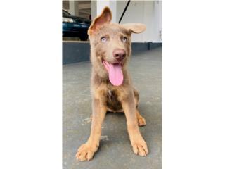 Puerto Rico GERMAN SHEPHERD AKC EXCELENTE PEDIGREE, Perros Gatos y Caballos
