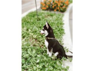 Puerto Rico Mini huskies (Pomsky), Perros Gatos y Caballos