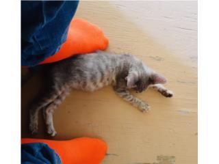 Gato baby  Puerto Rico