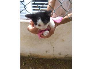 Se regala gatito de 2 meses.  Puerto Rico