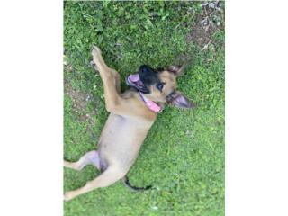 Puppy busca hogar Puerto Rico