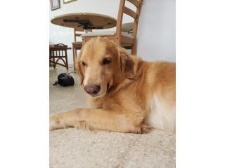 Puerto Rico Busco Novia Poodle o Golden para mi precioso , Perros Gatos y Caballos