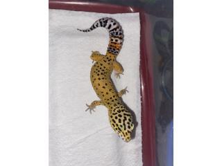 Geckos leopardo Puerto Rico